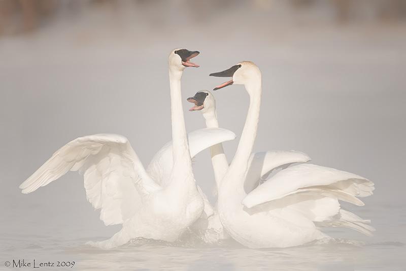 Trumpeter Swan gathering