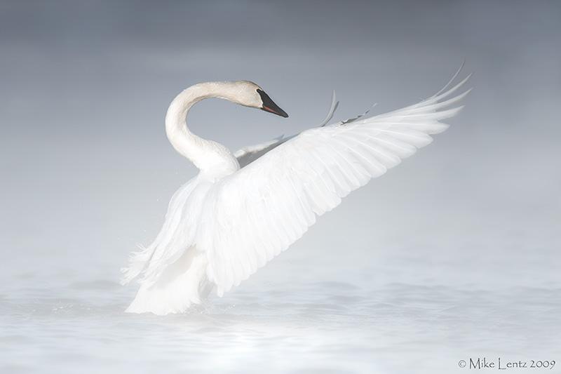 Trumpeter Swan in the mist