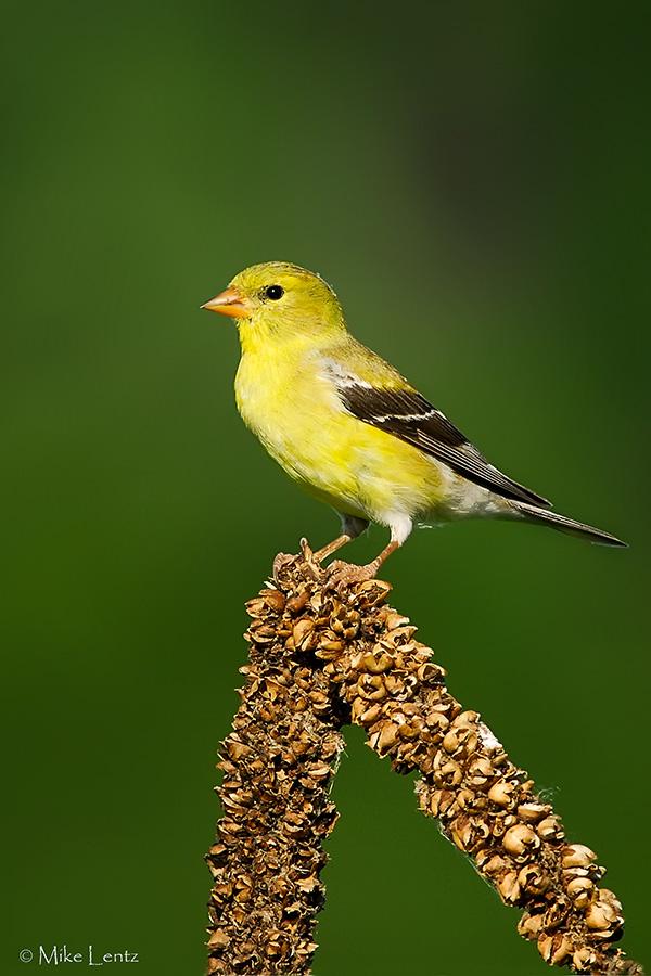 Goldfinch on common mullien