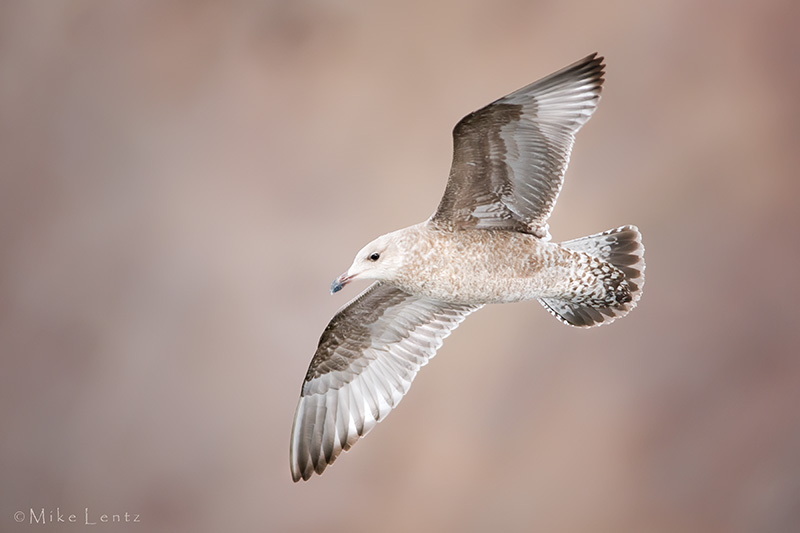 Herring Gull (transitional between first cycle and 2nd cycle)