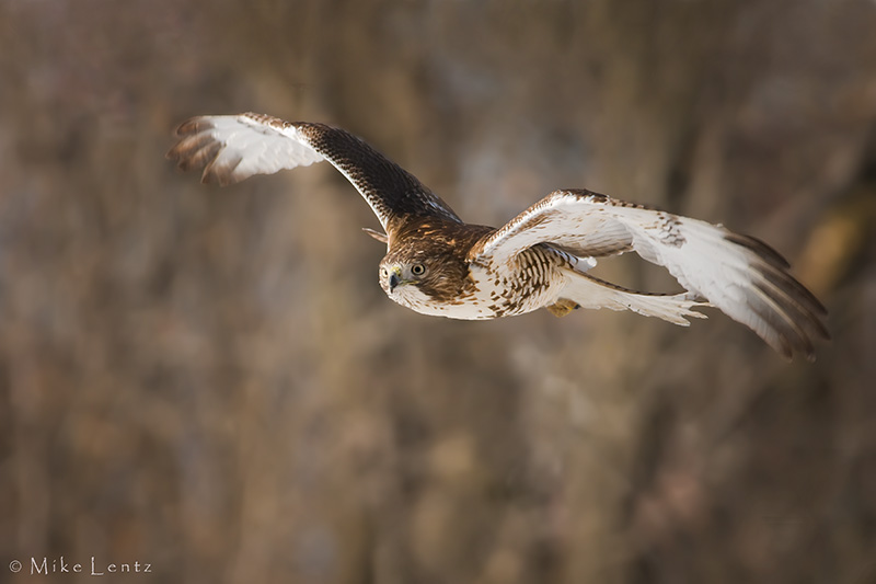 Red tailed hawk approaches prey
