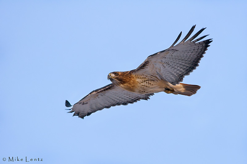 Red tailed hawk gliding