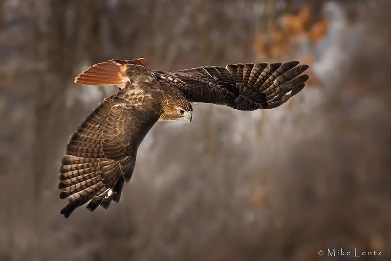 Redtail Hawk in pursuit