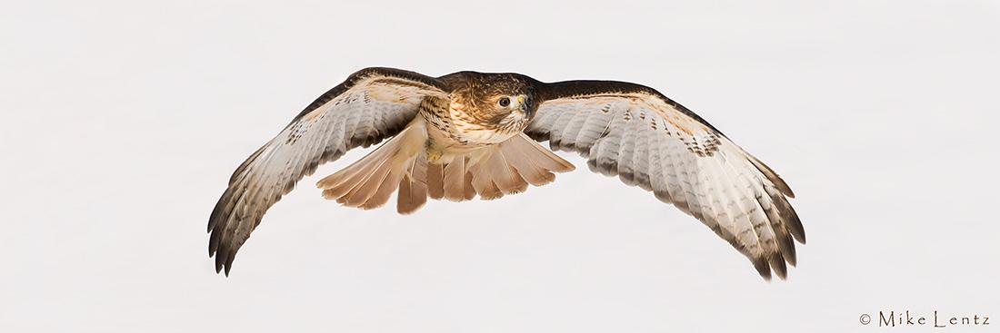 Redtail Hawk glides over snow