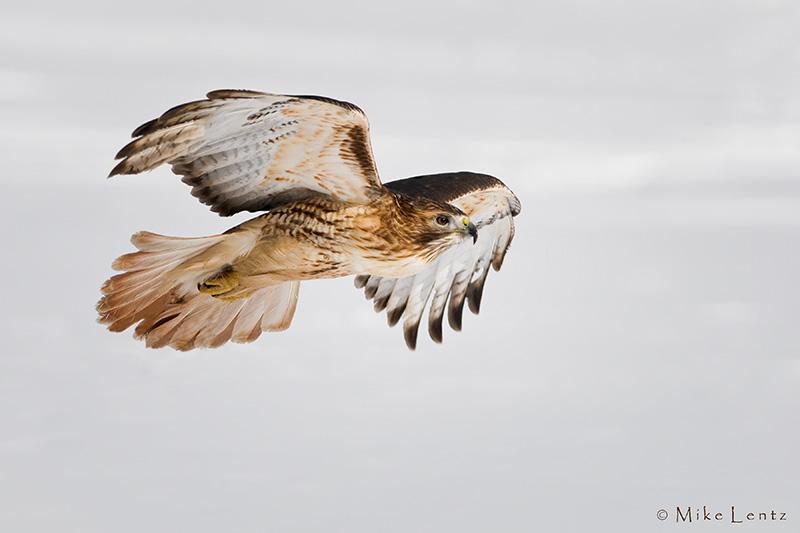 Redtailed hawk flight over snow