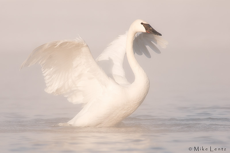 Trumpeter swan in morning light and fog