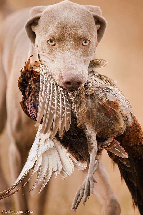 Weimareiner with a Pheasant