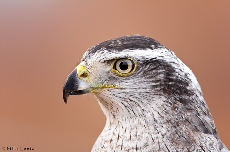 Goshawk head portrait