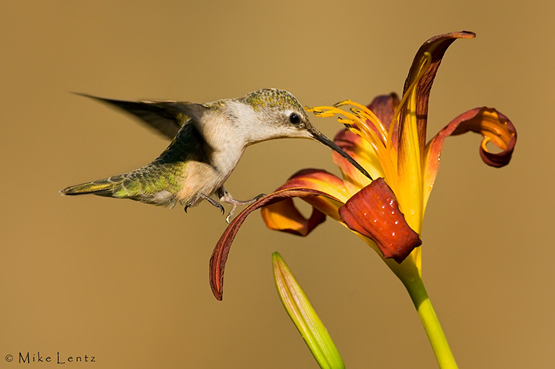 Female Hummingbird tip toes flower