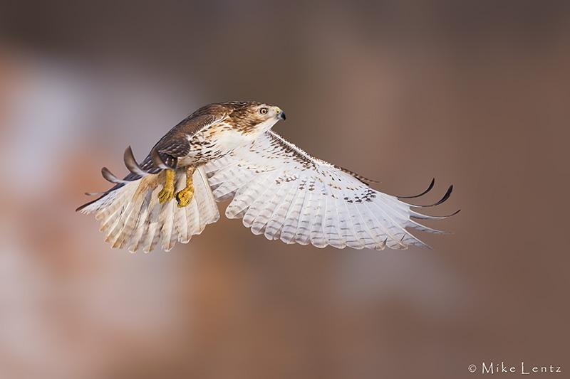 Redtail hawk flight