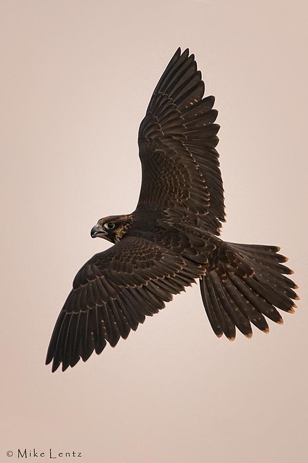 Peregrine Falcon banking