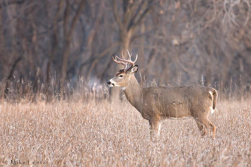 Ten point buck in the field