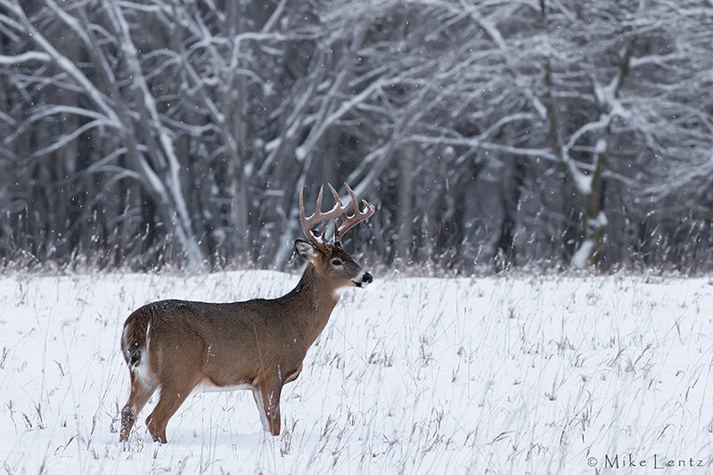 Buck in winter snow scene