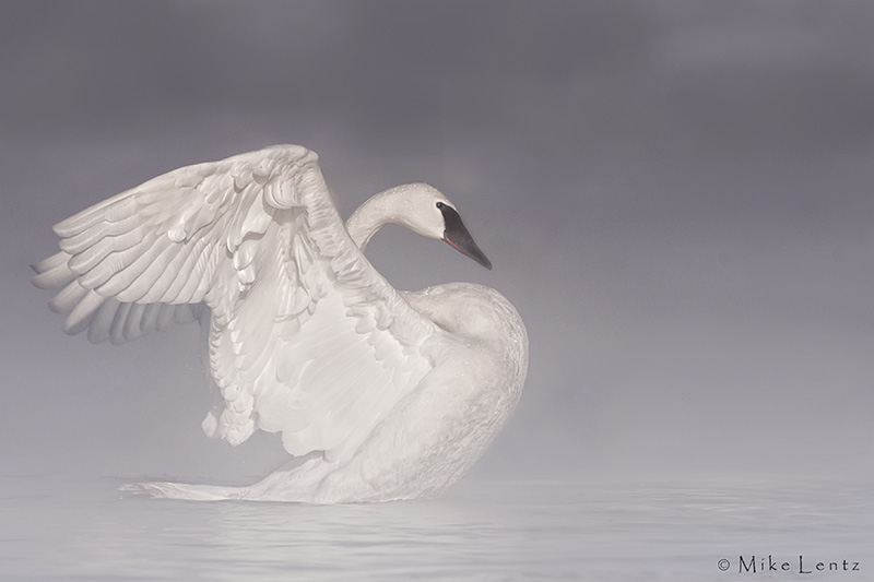 Trumpeter Swan in the steam