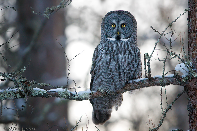 Great Gray Owl in boreal forest habitat