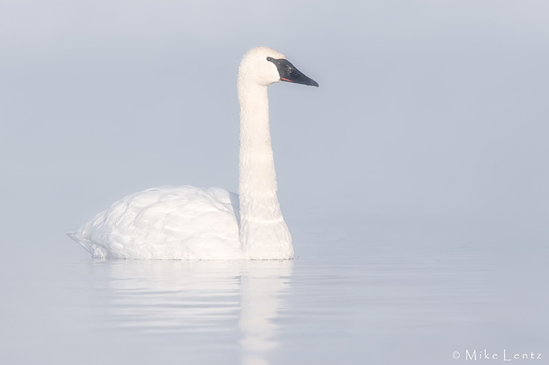 Trumpeter Swans stoic in steam
