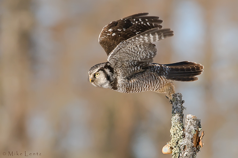 Northern Hawk Owl launches from perch