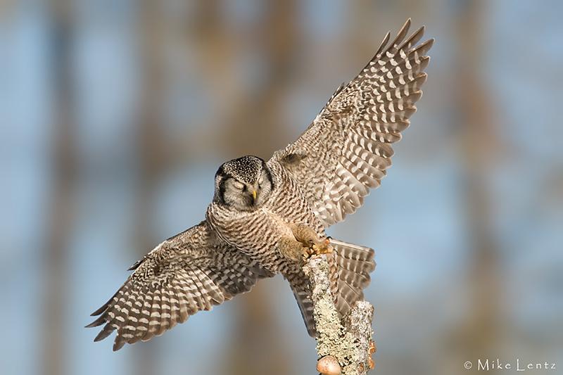 Northern Hawk Owl wings wide for landing
