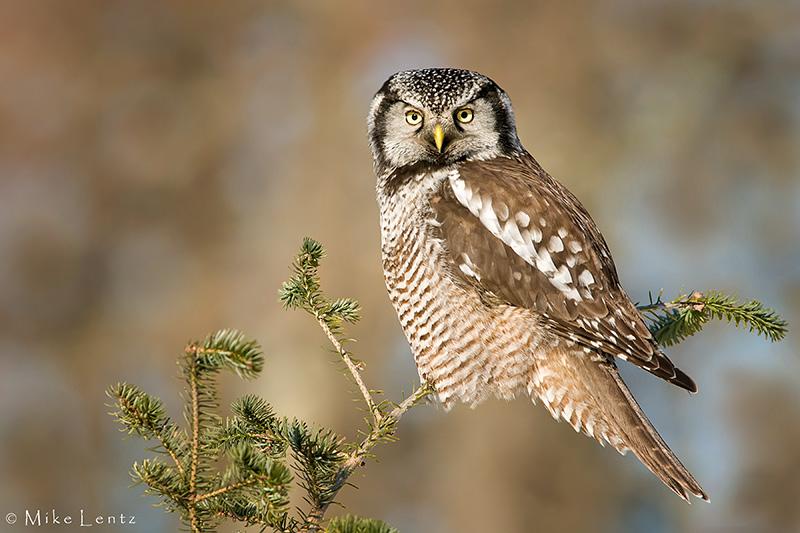 Northern Hawk Owl on pine