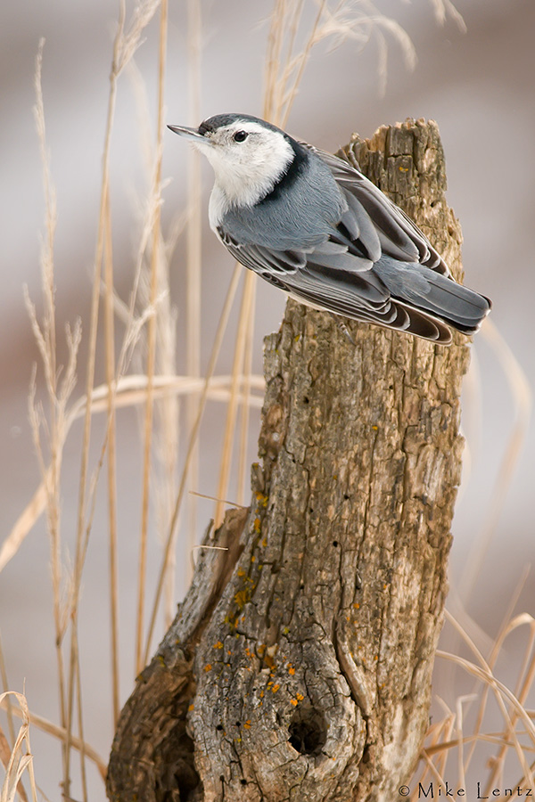 White Breasted Nuthatch (scenic scene)