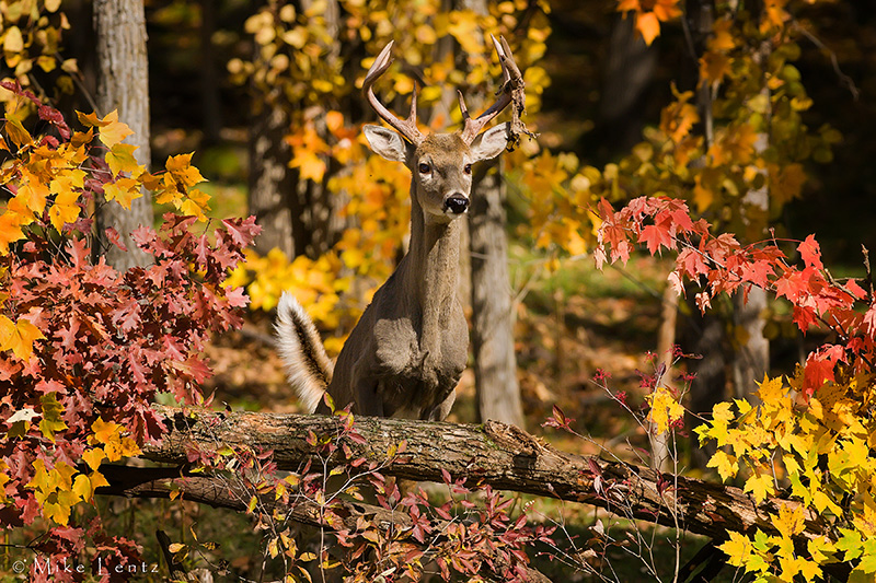 Buck bursting over downed logs