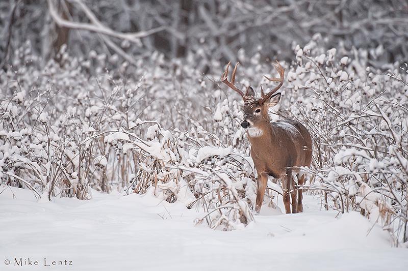 Ten point buck in snowy landscape