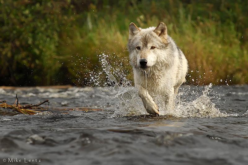 Wolf crossing stream