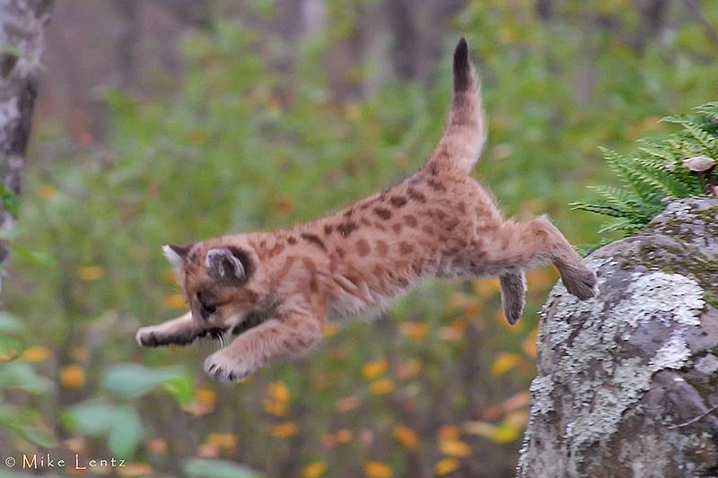 Cougar cub leaps