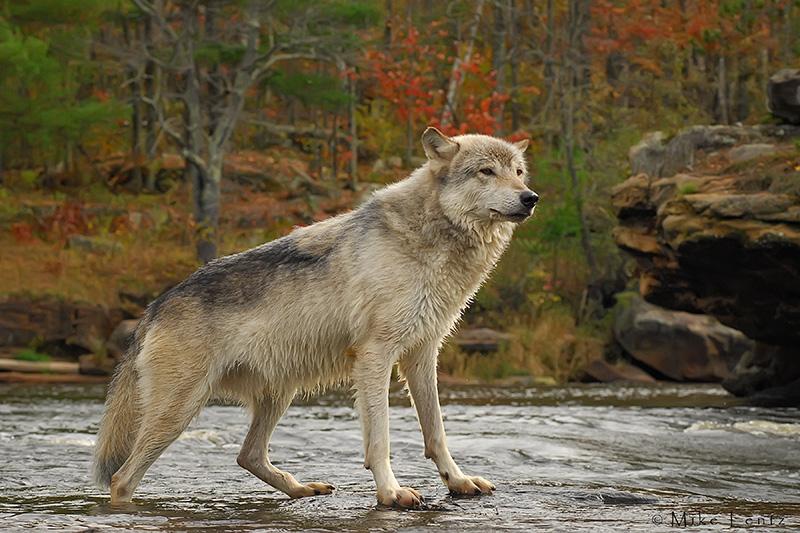 Wolf in autumn stream scene