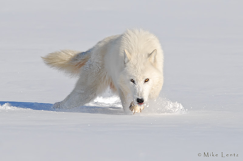 Arctic Wolf nose down