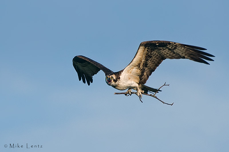 Osprey with nest material