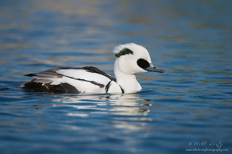 Smew Duck (Drake)