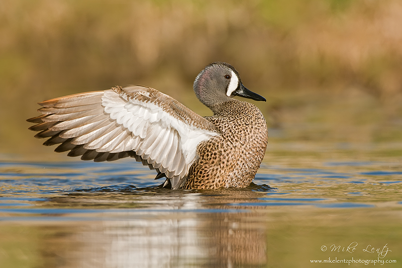 Blue-Winged Teal wing flap