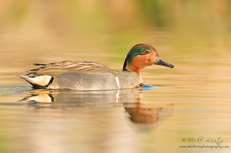 Green-winged Teal in golden light