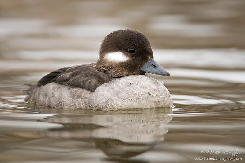 Bufflehead Duck (Hen)