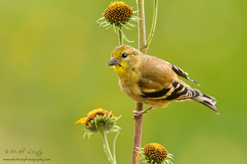 American Goldfinch on yellow flowers