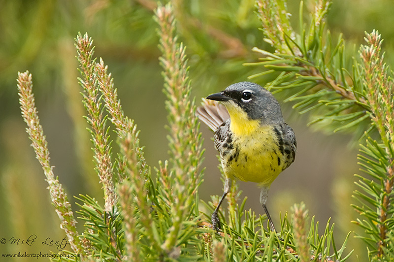Kirtlands Warbler in Jack pine