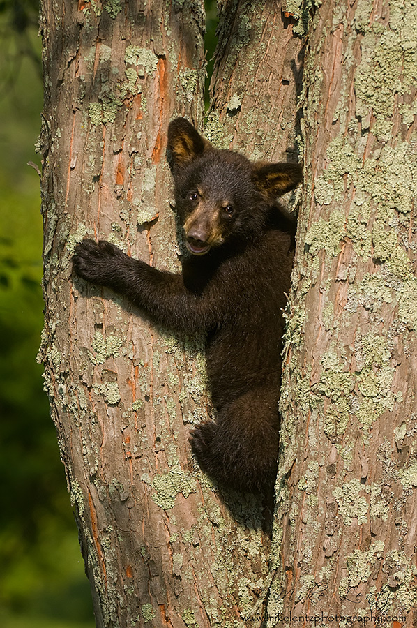Black bear cub up lichen covered tree