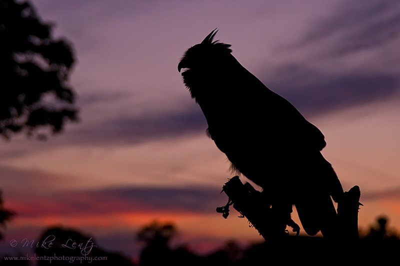 Great horned owl silhouette