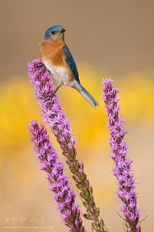 blazing Star Liatris with Bluebird