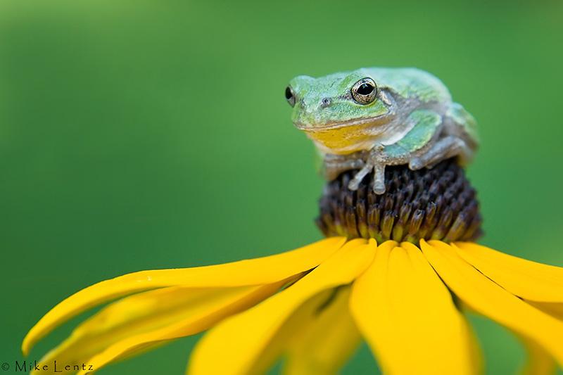 Gray tree frog on yellow flower