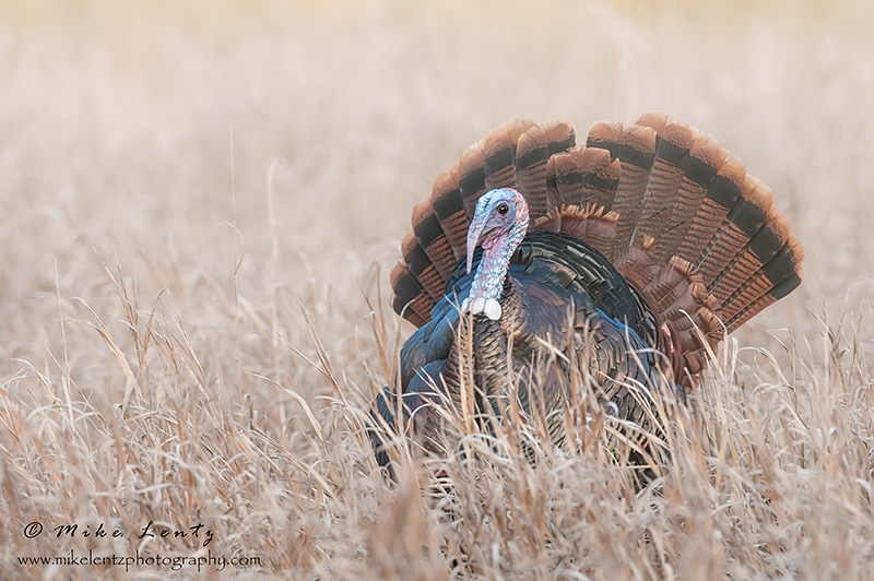 Wild Turkey displaying in fog