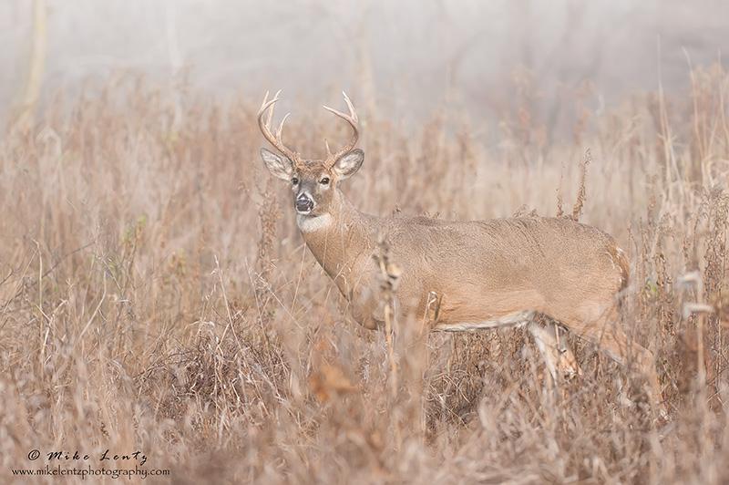 Buck in foggy field