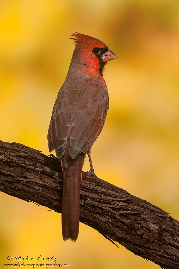 Northern Cardinal fall colors