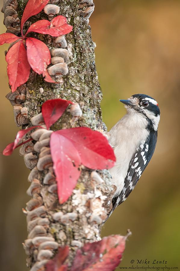 Downy Woodpecker autumn bounty
