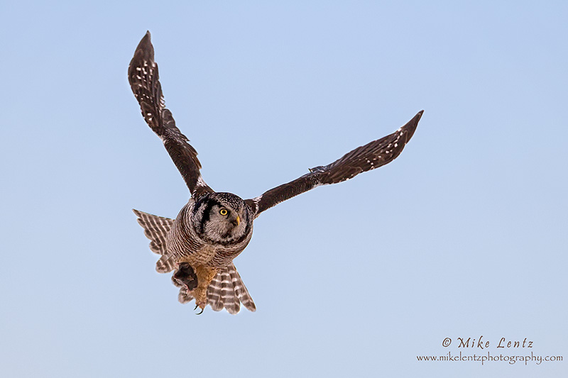 Northern Hawk Owl banking
