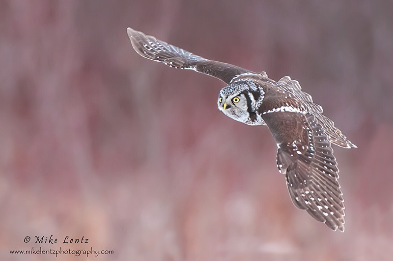 Northern Hawk Owl banking in the willows