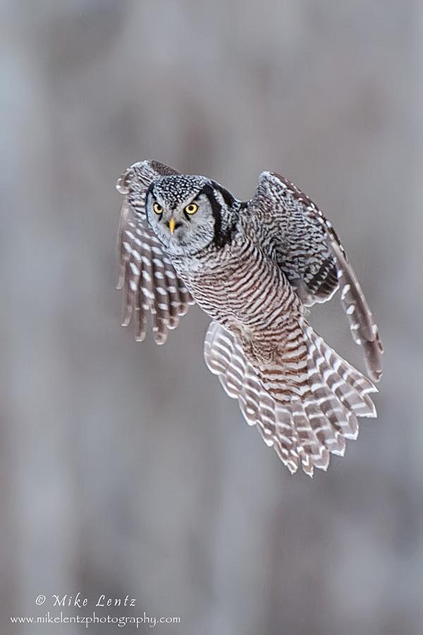 Incoming Northern Hawk Owl