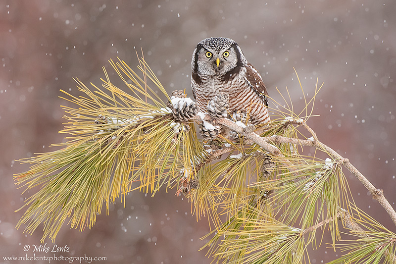 Northern Hawk Owl in a snowfall