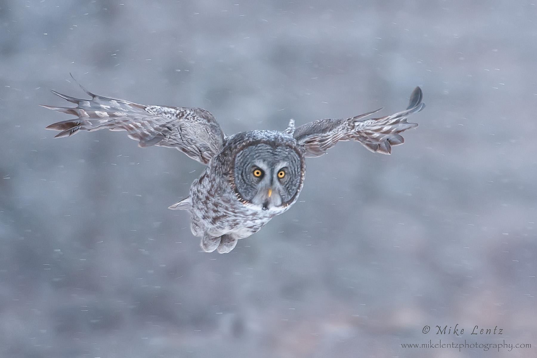 Great Gray owl flys down through snow
